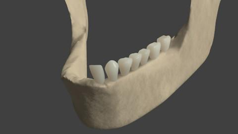 Lower Jawbone and teeth preview image