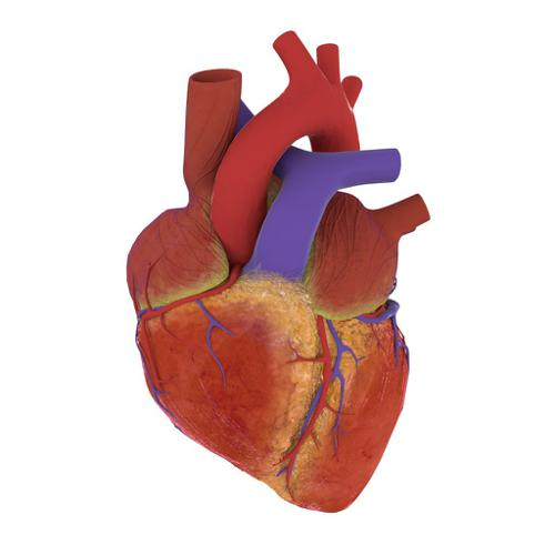 Human heart for Cycles preview image