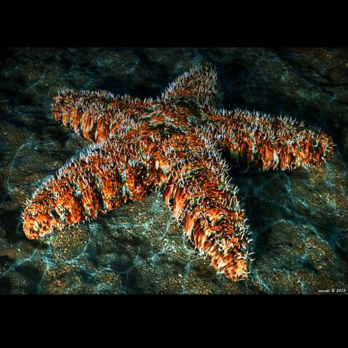 Starfish - Seastar - Asteroidea preview image