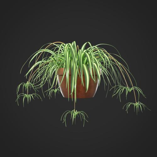 Spider Plant  preview image