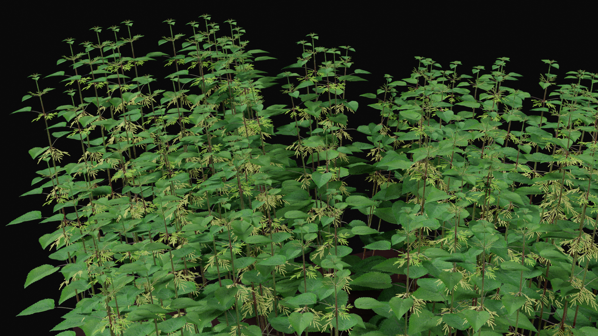 Stinging Nettle, Urtica dioica preview image 1