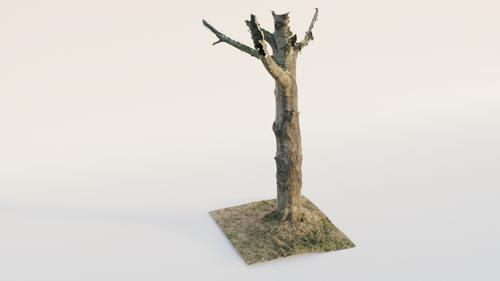 Thick Birch Tree preview image