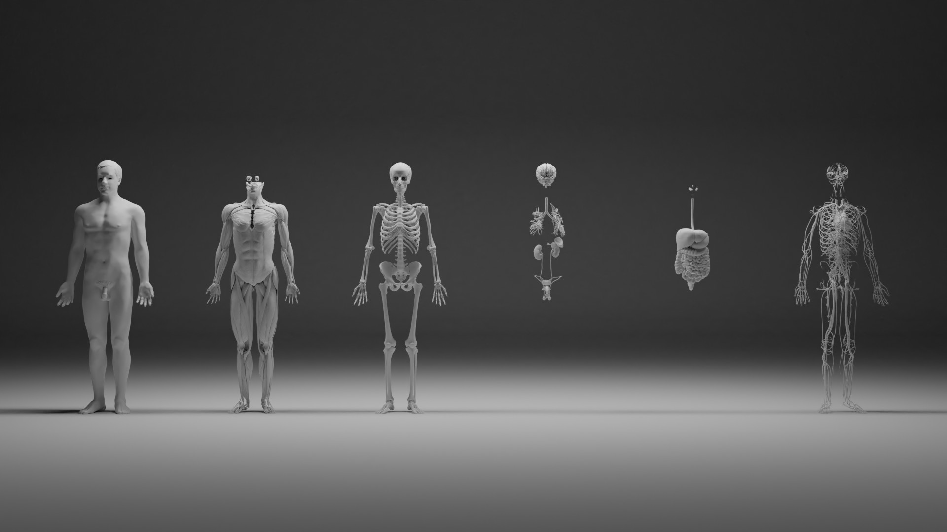 Male human with separated anatomical systems preview image 1