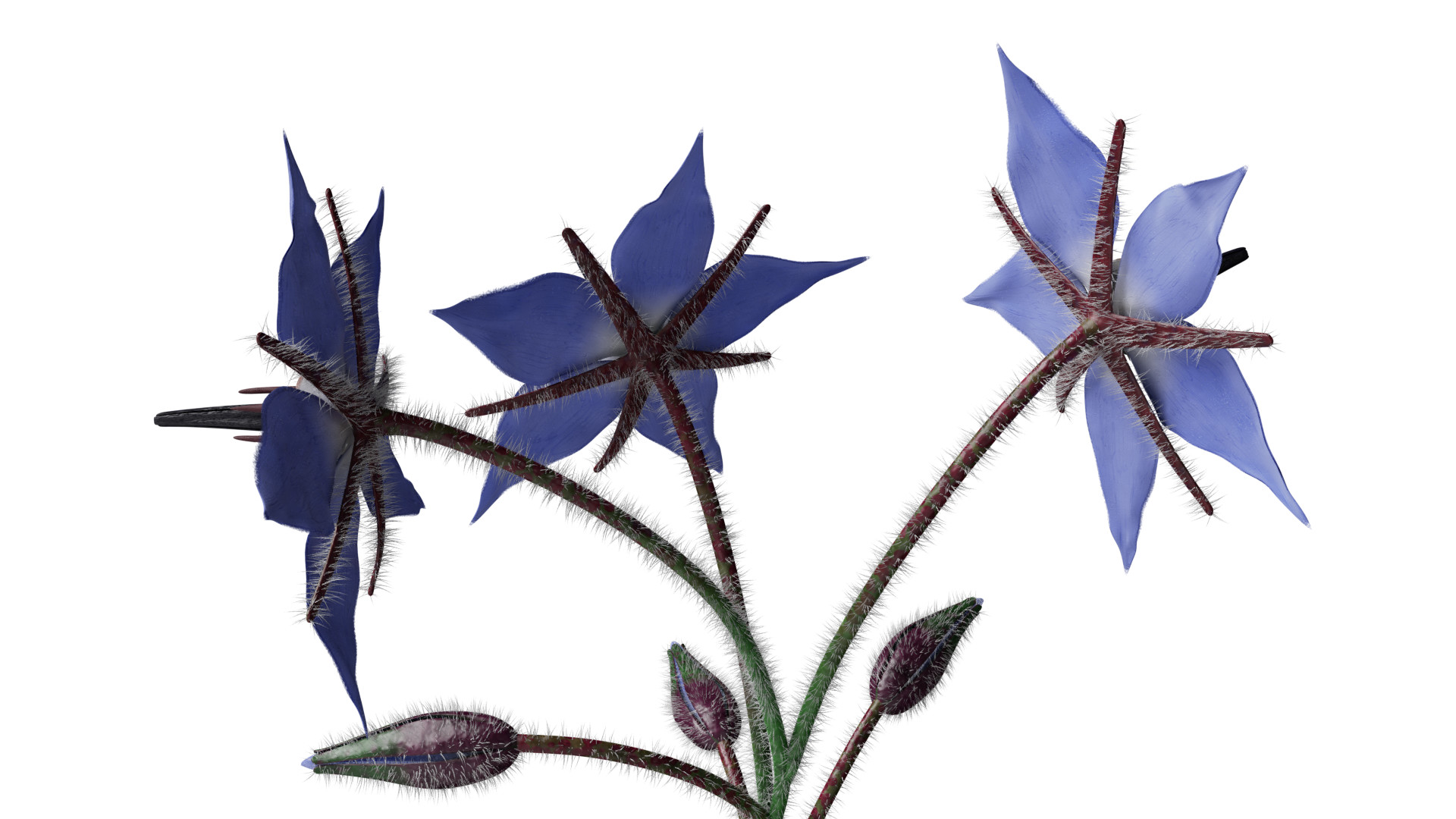 Borage Flower preview image 5