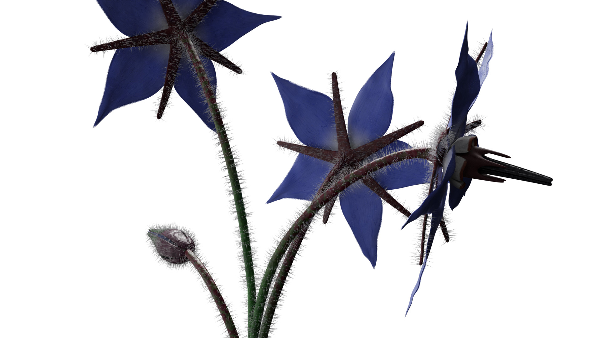 Borage Flower preview image 7
