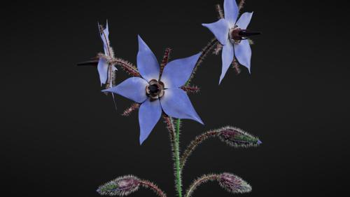 Borage Flower preview image