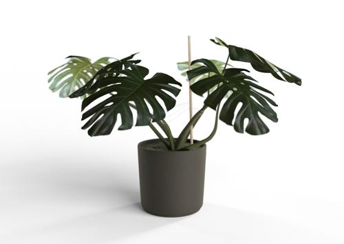 Monstera Plant preview image